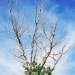 Dried tree against background of blue sky — Stock Photo #5670431