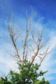 The dried tree against the background of blue sky — Stock Photo