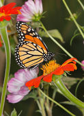 Flowers And Monarch Butterfly — Stock Photo