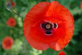 红 poppies.2 — 图库照片