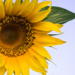 Stock Photo: Sunflower against blue background