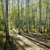 Sunshiny birch grove — Stock Photo