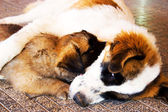 Dog and puppy. — Stock Photo
