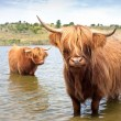 Scottisch highland cow - ストック写真