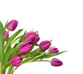 Purple tulips on a white background — Stock Photo