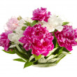 Peonies. — Stock Photo
