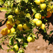Lemons In Lemon Tree In Europe — Stock Photo #6494644