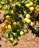 Lemons In A Lemon Tree In Europe — Stock Photo