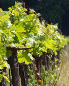 Grape Vines For Wine Making In Europe — Stock Photo
