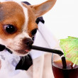 High Class Thirsty Chihuahua Having A Drink — Stock Photo #6501447