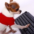 Stock Photo: Pet ChihuahuContacting His Friends On Internet
