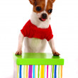 Chihuahua Getting A Gift For Christmas — Stock Photo #6501452