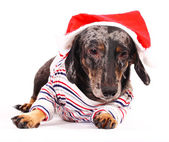 Pet Dog Looking A Bit Hung Over After His Christmas Dinner — Stock Photo