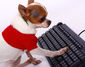 Pet Chihuahua Contacting His Friends On The Internet — Stock Photo