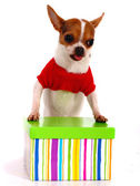 Chihuahua får en gåva till jul — Stockfoto