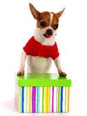 Chihuahua recibiendo un regalo de navidad — Foto de Stock