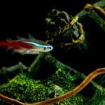 Neon fish in aquarium — Stock Photo
