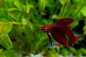 Betta splendens — Stock Photo
