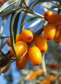 Sea-buckthorn twig — Stock Photo