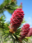 Young pink fir cone — Stock Photo