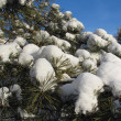 Snow caps on pine twigs - winter background — Stock Photo