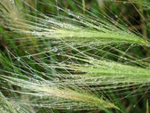 Feather-grass in raindrops — Stock Photo