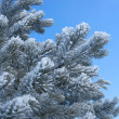 Frosty pine twigs - winter background — Stock Photo