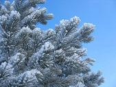 Frosty pine twigs - winter background — Stock Photo