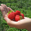 Handful of strawberry on woman's hand — Photo