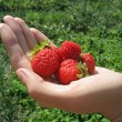 Handful of strawberry on woman's hand — Foto de Stock