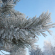 Frosty pine twig — Stock Photo