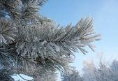 Frosty pine twig — Stock Photo
