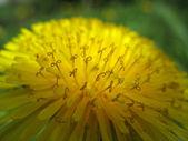 Spring background-dandelion stamens — Stock Photo