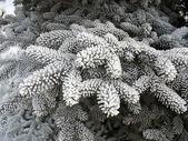 Winter background - frosty fir twigs — Stock Photo
