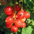 Red currant twig against on a bush — Stock Photo