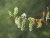 Willow twig with red and yellow catkins — Stock Photo