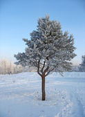 Lonely frosty pine-tree — Stock Photo