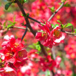 Stock Photo: Red flowers on bush with blurry background
