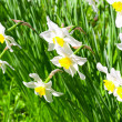 Stock Photo: Beautiful white flowers. Narcissus
