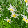 Beautiful white flowers blown by win. Narcissus — Stock Photo #5682954