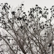 Crows on the tree — Stock Photo