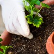 Hand potting young green plant in soil — Stock Photo