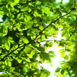 Stock Photo: Sun shining trough leaves
