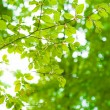 Beams of the sun shining trough leaves with green background — Stock Photo