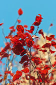 Autumnal red leaves — Stock Photo