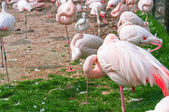 A group of pink flamingos standing — Stock Photo