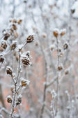 Flower with ice cristals in winter — Stock Photo