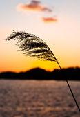 Silhouette d'une belle plante sur le rivage au crépuscule — Photo