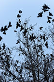 Crows flying and sitting on tree — Stock Photo