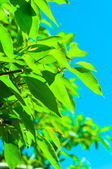 Fresh green cherry leaves against blue sky — Stock Photo